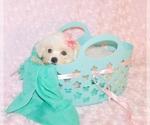Puppy 3 Zuchon