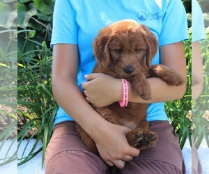 Goldendoodle Dog for Adoption in GAP, Pennsylvania USA