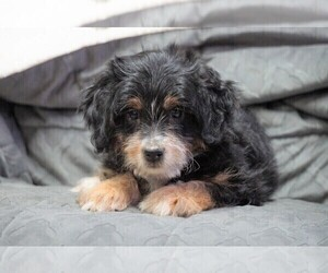 Miniature Bernedoodle Puppy for sale in FREDERICKSBG, OH, USA