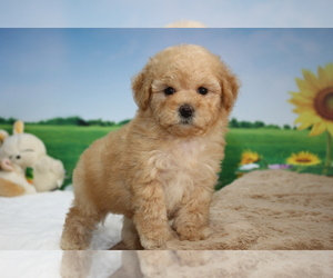 Poodle (Toy) Puppy for sale in LOS ANGELES, CA, USA