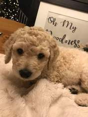 Labradoodle Puppy for sale in JACKSONVILLE, FL, USA