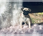 Small Photo #3 Pug Puppy For Sale in CANTON, CT, USA