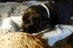 German Shorthaired Lab Puppy For Sale in RAPID CITY, SD, USA
