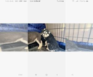 Siberian Husky Puppy for Sale in AURORA, Colorado USA