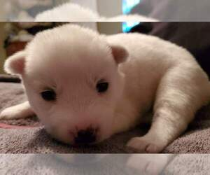 Siberian Husky Puppy for sale in GILLETTE, WY, USA
