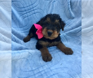 Airedale Terrier Puppy for sale in JOSHUA, TX, USA