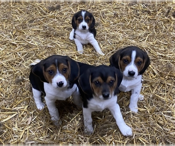 View Ad: Beagle Puppy for Sale near In Spain