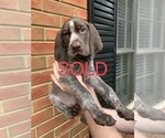 Small #33 German Shorthaired Pointer