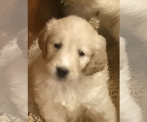 Goldendoodle Puppy for Sale in EASTON, Massachusetts USA