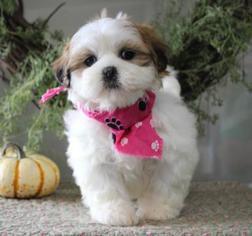 Lhasa Apso Dog for Adoption in ORO VALLEY, Arizona USA