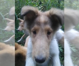 Collie Puppy for sale in BETHANY, KY, USA