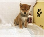 MOST PERFECT Red Shiba Inu LA SF NY SEA CHI