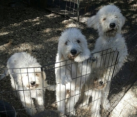 Komondor Puppy For Sale in SNOOK, TX