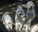 AKC Komondor Pups