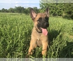 Small #3 Belgian Malinois