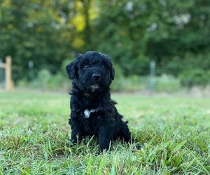 Aussiedoodle Puppy for Sale in ARDMORE, Oklahoma USA