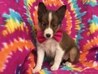 Shetland Sheepdog Puppy For Sale in EPHRATA, PA, USA