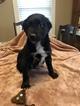 Australian Shepherd Puppy For Sale in GENESEO, IL, USA