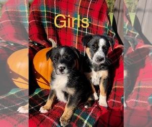 Australian Shepherd-English Shepherd Mix Dogs for adoption in ARMADA, MI, USA
