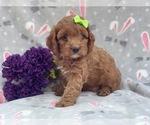 Small Cocker Spaniel-Poodle (Miniature) Mix