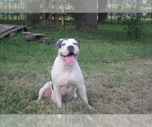 American Pit Bull Terrier Puppy for sale in POPLAR BLUFF, MO, USA
