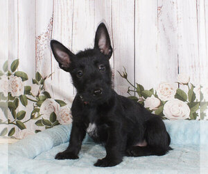 Scottish Terrier Puppy for sale in PENNS CREEK, PA, USA