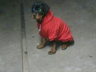 Rottweiler Puppy For Sale in SAN JOSE, CA
