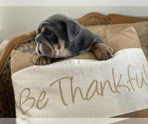 English Bulldog Puppy for sale in HEYBURN, ID, USA