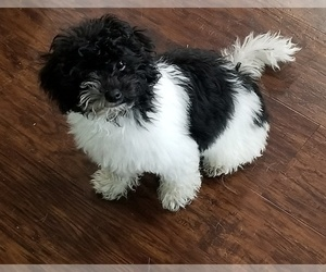 Poodle (Toy) Puppy for sale in BRYAN, TX, USA