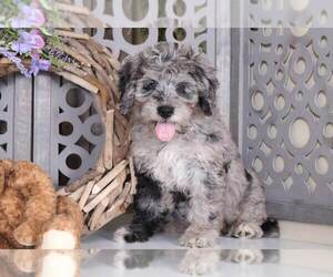 Bernedoodle Puppy for Sale in MOUNT VERNON, Ohio USA