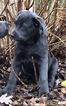 Cane Corso Puppy For Sale in CEDAR LANE, PA, USA