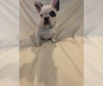 French Bulldog Puppy For Sale in EL PASO, TX, USA