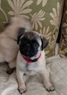 Pug Puppy For Sale in LELAND, North Carolina,