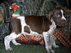 AKC German Shorthaired Pointer Puppy Drake