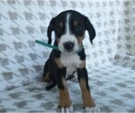 Puppy 6 Greater Swiss Mountain Dog