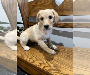 Aussiedoodle-Poodle (Standard) Mix Dog for Adoption in MOUNT CLEMENS, Michigan USA