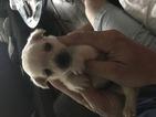 Shorkie Tzu Puppy For Sale in DETROIT, MI, USA