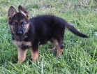 German Shepherd Dog Puppy For Sale in TRIADELPHIA, WV, USA
