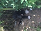 Black and white Great Danes for sale