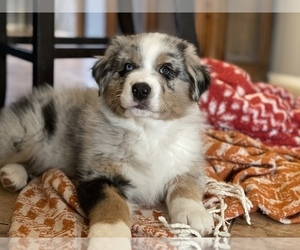 Australian Shepherd Puppy for sale in CROWN POINT, IN, USA