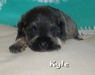 Schnauzer (Miniature) Puppy For Sale in OLLA, LA, USA
