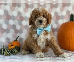 Bichpoo Puppy for sale in LANCASTER, PA, USA