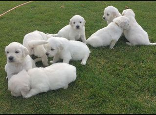 Golden Retriever Puppy For Sale in WEST POINT, UT
