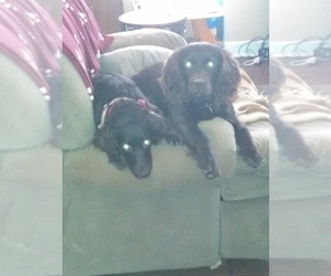 Boykin Spaniel Puppy for Sale in LANCASTER, South Carolina USA