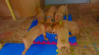 Vizsla Puppy For Sale in BULVERDE, TX