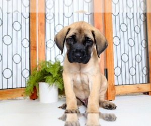 Mastiff Puppy for sale in NAPLES, FL, USA