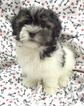 Havanese Puppy For Sale in WINSTON SALEM, NC,