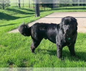 Newfoundland Dog for Adoption in DALE, Indiana USA