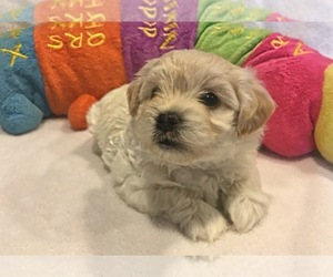 Maltese-Maltipoo Mix Puppy for Sale in DUPONT, Washington USA