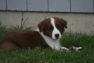 Border Collie Puppy for sale in RIO VISTA, CA, USA